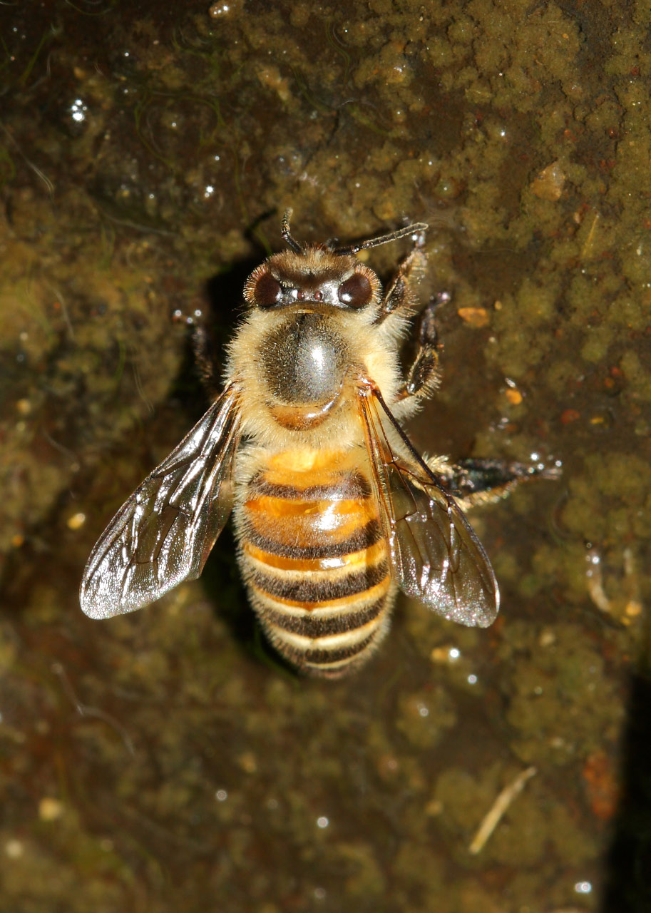 Closeup Photo Of Japanese Honey Bee Westover And Sons