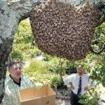 cerana swarm capture that appeared in newspaper