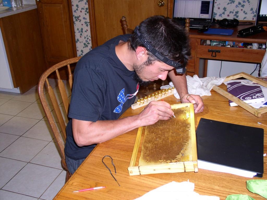 Gerrit Westover at work choosing bee larvae to graft into queen cups