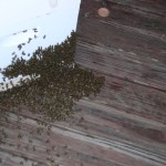 pretty good populations for small hives